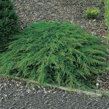JUNIPERUS communis GREEN CARPET (Genévrier commun Green Carpet)