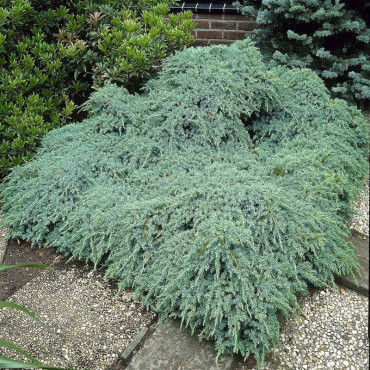 JUNIPERUS squamata BLUE CARPET (Genévrier écailleux Blue Carpet)